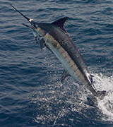 Big Game Fishing Charters Tenerife